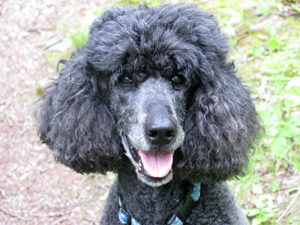 Maxie, a standard poodle and pet therapy dog for hospice patients and others