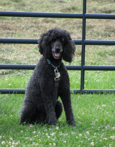 Maxie, a standard poodle and pet therapy dog for hospice patients and others, poses for picture by fence in field